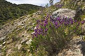 Lavender flowers and rocks in Andalusia Spain