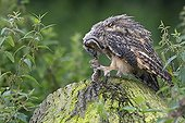 Young Long-eared owl eating a little rodent spring GB