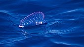 Portuguese Man O'war floating on the surface Azores