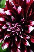 Dahlia 'Contraste' in bloom in a garden