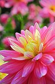 Dahlia 'Bel Amour' in bloom in a garden