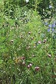 Quakinggrass Red campion and Bellflower The Garden Valerian ; Le Jardin de Valériane