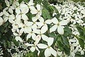 Flowering Dogwood 'National' The Garden of Valerian ; Le Jardin de Valériane