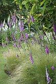 Fox Gloves and Feather Grass Garden Valerian ; Le Jardin de Valériane