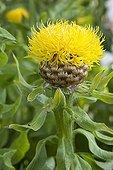 Flower bighead knapweed The Garden Valerian ; Le Jardin de Valériane