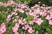 Dogwood 'Satomi' flower Le Jardin des Lianes ; Le jardin des lianes