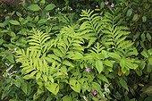 Foliage of Polygonum and Sensitive Fern Le Jardin des Lianes ; Le jardin des lianes