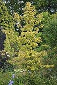Dogwood 'Cherokee Sunset' Le Jardin des Lianes ; Le jardin des lianes