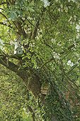 Birdhouse in an apple tree and liana Rose Le Jardin des Lianes ; Le jardin des lianes