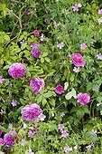 Mossy Rose 'Maréchal Davoust' and Geranium in bloom ; Le jardin des lianes