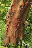 Paperbark maple bark Le Jardin des Liannes ; Le jardin des lianes
