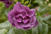 Rose 'Rhapsody in Blue' Le Jardin des Lianes France ; Le jardin des lianes