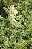 Apple Mint 'Variegata' Le Jardin des Lianes France ; Le jardin des lianes