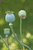 Button and capsule Poppy Jardins du Pieuré d'Orsan ; Les Jardins du Pieuré d'Orsan