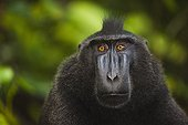 Male crested black macaque Sulawesi ; Endangered species, threatened through loss of habitat and bush meat trade