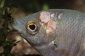 Ulcères sur le tête d'un poisson d'aquarium d'eau douce