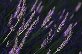 Fine Lavender flowers in Provence France