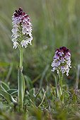Burnt orchid on the Causse in Lozere France