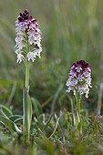 Orchis brûlé sur le Causse en Lozère France