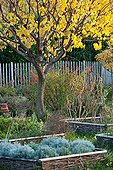 Apricot in autumn garden in Provence France