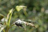 Oïdium du rosier sur un Rosier en serre en hiver France