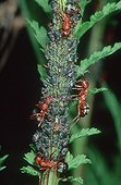 Red Barbed Ants milking Aphids colony on stem