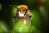 Close-up of head of a Mason Bee