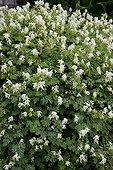 Corydales blanches en fleur dans un jardin