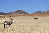 """Gemsbok in typical desert habitat Namibia ; In the private reserve named """"N/a'an ku sê"""", welfare programs and health support converge to maintain populations of Bushmen in good health and to reintroduce the wild Cheetahs. This nomadic group of hunter-gatherers has a history dating back over 20,000 years. Their close relationship and perfect their knowledge of animals allowed to live and feed in the deserts of southern Africa."""