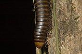 Millipede of Guyana