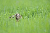 Brown hare in a grain field in spring Hesse Germany