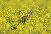 Roe buck in spring in a rape field Hesse Germany