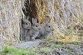 Young European rabbits Hesse Germany