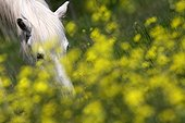 Camargue horse grazing in a field of Oilseed Rape France
