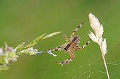 Dewy spider spinning its web