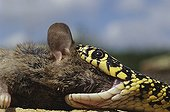 Western whipsnake eating a a rodent