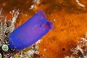 Ascidie bleue en Papouasie-Nouvelle-Guinée