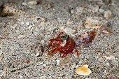 Crevette dans l'océan en Papouasie-Nouvelle-Guinée