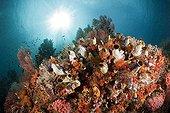 Récif de Corail et Ascidie en Papouasie-Nouvelle-Guinée