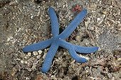 Blue Starfish with six arms Lembeh Strait Indonesia