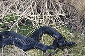 Common adder Melanic specimen ; From N. France and Great Britain to N. Korea and Sakhalin Island, from Italy and N. Greece to artic circle
