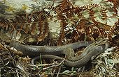 Smooth snake ; From N. Portugal to N. Iran, from Sicilia to Scandinavia