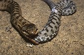 Smooth snake aating a asp viper ; From N. Portugal to N. Iran, from Sicilia to Scandinavia
