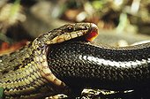 Portrait of a Smooth snake eating a slow-worm ; From N. Portugal to N. Iran, from Sicilia to Scandinavia