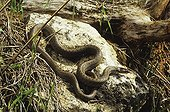 Smooth snake basking on a tree swamp ; From N. Portugal to N. Iran, from Sicilia to Scandinavia