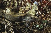 Smooth snake on the ground ; From N. Portugal to N. Iran, from Sicilia to Scandinavia