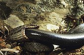 Smooth snake eating a slow-worm ; From N. Portugal to N. Iran, from Sicilia to Scandinavia
