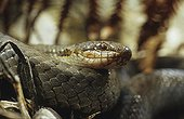 Portrait of a Smooth snake ; From N. Portugal to N. Iran, from Sicilia to Scandinavia