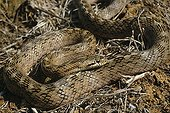 Southern smooth snake ; Portugal, Spain, S.France, Italy, N.Africa