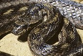 Portrait of a Southern smooth snake ; Portugal, Spain, S.France, Italy, N.Africa